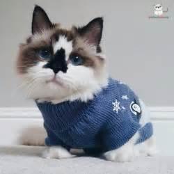 the munchkin cat albert the adorable munchkin cat cats