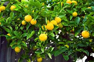 How To Care For A Meyer Lemon Tree