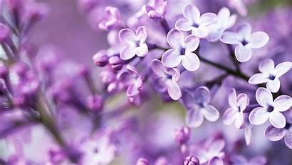Lilac Background Purple Blurry Bloom Widescreen Flowers