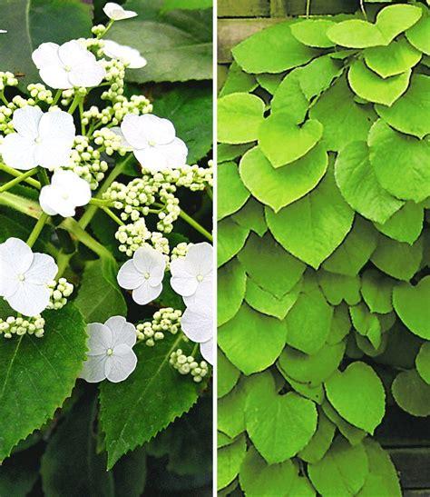 Kletterpflanzen Immergrün Winterhart by Winterharte Kletterpflanzen Kollektion Garten