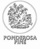 Pine Ponderosa Coloring Pages Tree Google Drawing Christmas Detailed Getdrawings sketch template