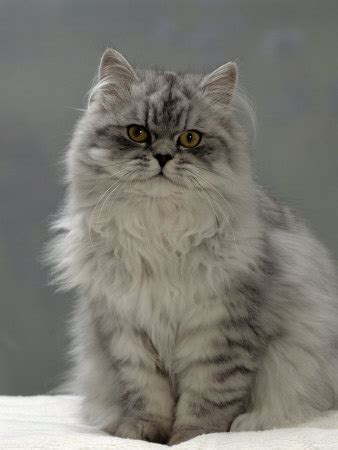 Domestic Cat, Silver Tabby Chinchillacrosspersian In