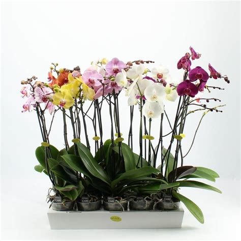 outdoor plants phalaenopsis mixed with three branches florastore