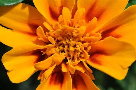 marigolds keep bugs away growing marigolds planting marigolds to keep bugs and snakes away the great outdoors
