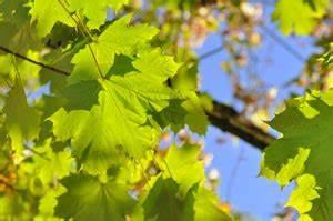 Schnell Wachsende Laubbäume Für Den Garten : schnellwachsende b ume f r den garten laubb ume nadelb ume ~ Michelbontemps.com Haus und Dekorationen