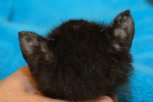 cat lice feline lice