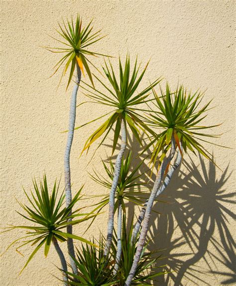 different types of palm plants yucca sculpture 6ft hello hello plants garden supplies