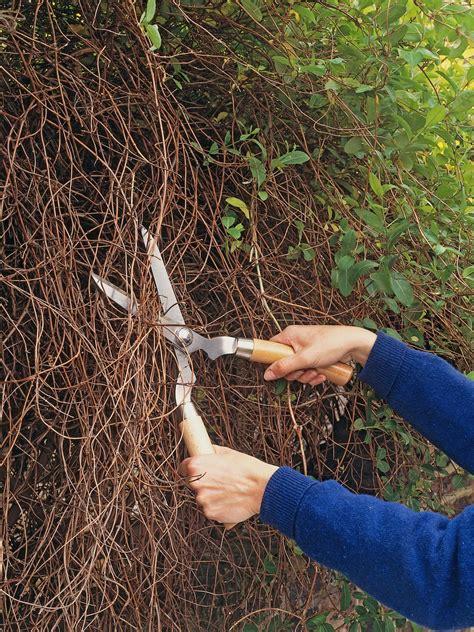 climbing pruning pruning climbing plants when to prune ivy wall shrubs