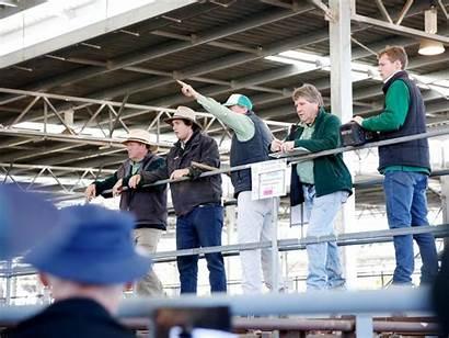 Cattle Leongatha Influences Fat Drop Market Euroa