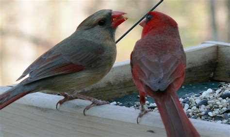the romantic male cardinal goes beak to beak nature s