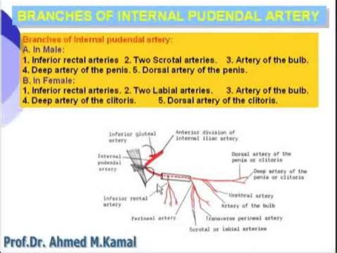 Pelvis Internal Pudendal Artery Youtube