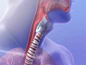 The Wonderful Windpipe  Five Awesome Facts About The Trachea