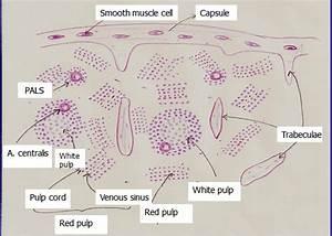 Lymphoreticular  Lymphoid  System