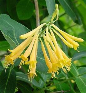 Lonicera sempervirens John Clayton | Gateway Garden Center
