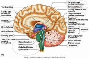 brain-parts-to-know | Anatomy | Pinterest | Nice, The o ...