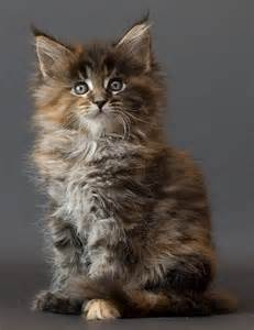 maine coon cats for maine coon cats pets and docile