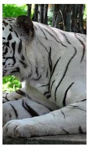White Tiger | Interesting Facts: - All white tigers have ...