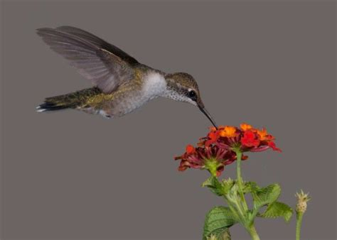 54 best images about lantana s flowers on pinterest sun