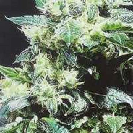 Kc Northern Lights by Northern Lights Special Regular Seeds By Kc