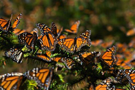 la migracion de la mariposa monarca disminuyo  en