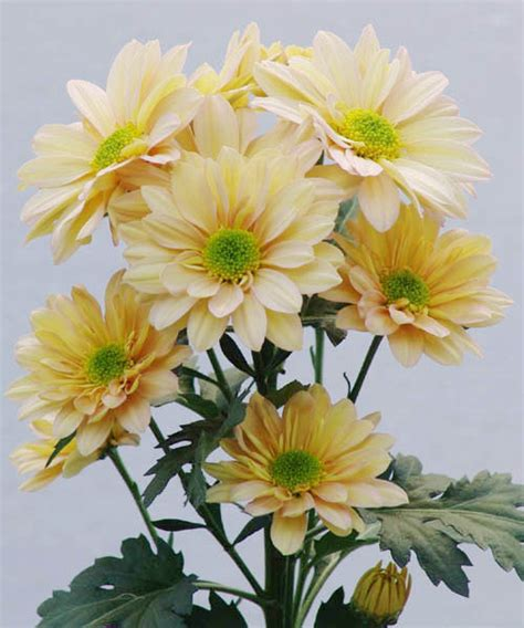 spray chrysanthemum wholesale cut flowers wa