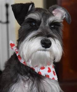 Schnauzer Without Haircut Haircuts Models Ideas
