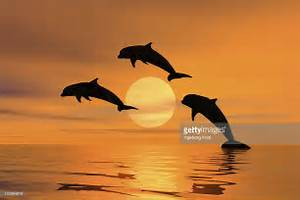 Three Dolphins Jumping Out Of The Water Sunset Silhouette ...