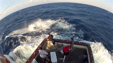 Marlin Jumps In Boat by 600lb Black Marlin Jumps In Boat And Lands On The Crew