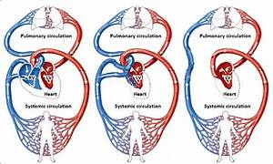 Diagram For The Normal Heart Circulatory System  Left   For A Single