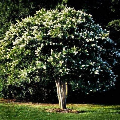 buy natchez crape myrtle   tree center