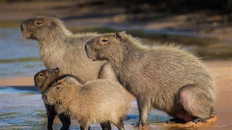 capybara san diego zoo animals plants