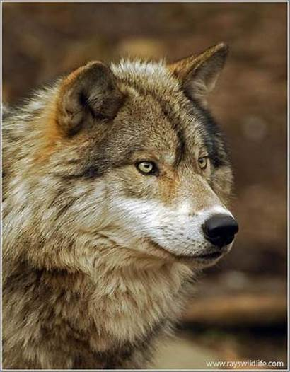 Wolf Wolves Copyrighted Rogers Jack