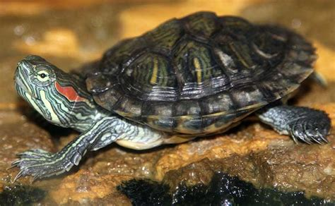 eared turtle red eared slider facts