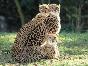 "King Cheetah and siblings | Great Cats of the ""World"""