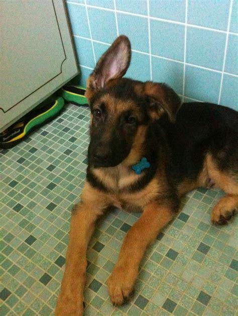 ear   ear  page  german shepherd dog forums