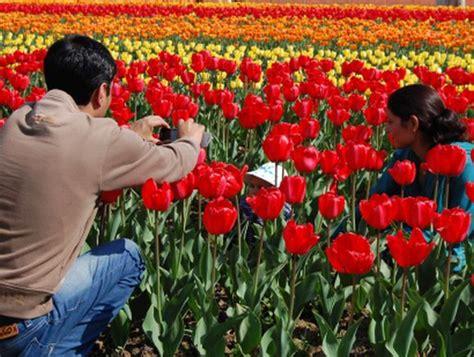 flowery delight  srinagar tulip garden