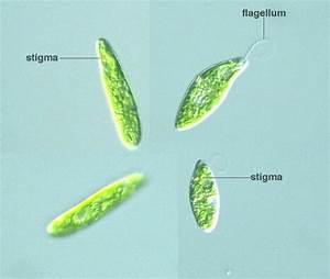 Euglena Gracilis Microscope | www.pixshark.com - Images ...