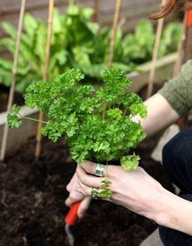 coltivazione prezzemolo in vaso coltivazione prezzemolo orto