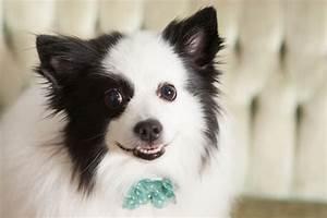 Pomeranian American Eskimo Dog Mix