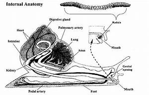 Internal Structure Of Snail Diagram
