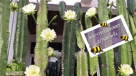 ดอกกระบองเพชร บานสะพรั่ง ที่บ้านฉัน   Cactus Flowers at my ...