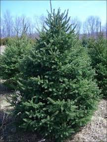 chester county pa evergreen trees gt popular evergreen trees