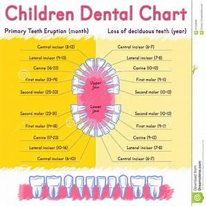 Children Teeth Anatomy Stock Vector