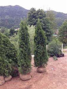 Thuja Smaragd Wachstum : zypresse thuja smaragd 220 240cm sonderpreis ~ Michelbontemps.com Haus und Dekorationen