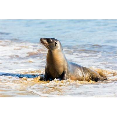 Galapagos sea lion - Wiktionary