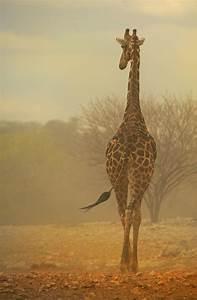 Giraffe Facts - Animal Facts Encyclopedia  Giraffe