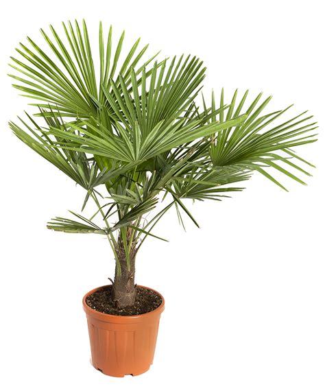 type de palmier exterieur palmier botanic