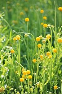 Keimzeit Saatgut De : gummib rchenblume ~ Lizthompson.info Haus und Dekorationen