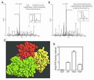 Shp2 Y62  Y63 Phosphorylation In Tumor Samples And Evidence