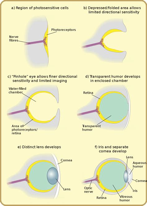 Evolution Of The Eye Wikipedia